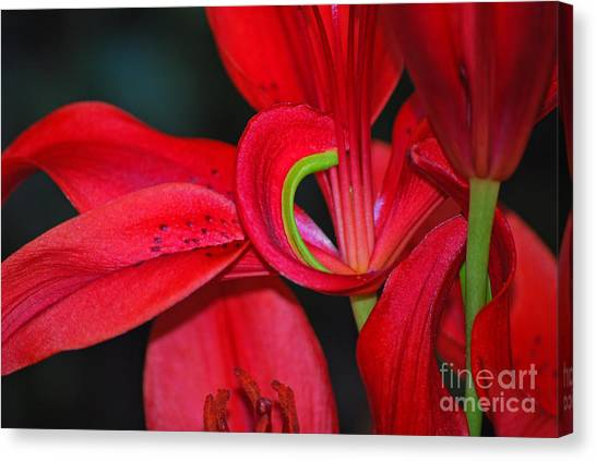 Red Asiatic Lily Canvas Print