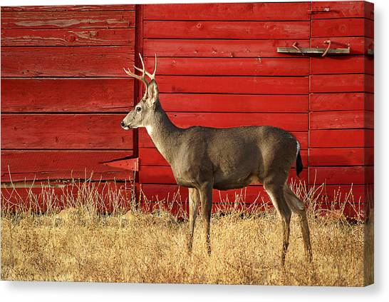 Red Barn Buck Canvas Print