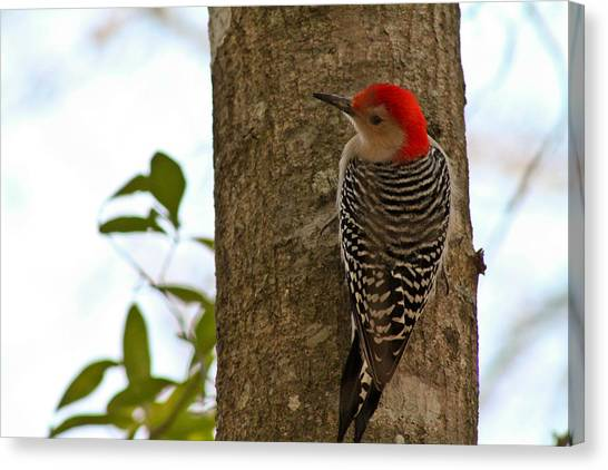 Red Bellied Woodpecker Canvas Print