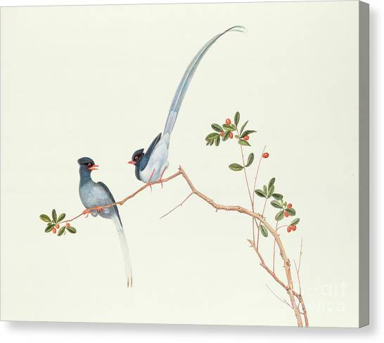 Magpies Canvas Print - Red Billed Blue Magpies On A Branch With Red Berries by Chinese School