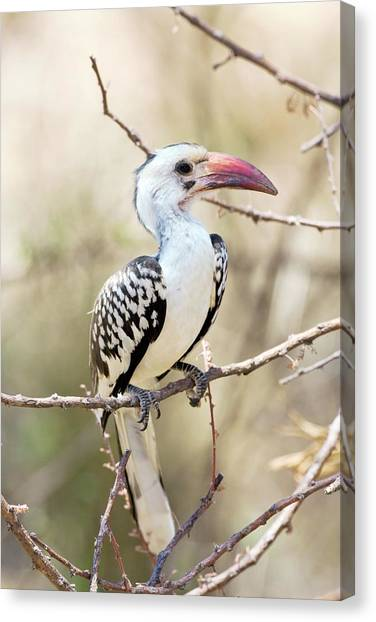 Hornbill Canvas Print - Red-billed Hornbill by John Devries/science Photo Library