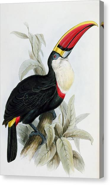 Toucan Canvas Print - Red-billed Toucan by Edward Lear