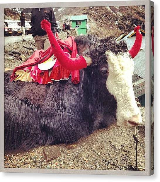 Yaks Canvas Print - #red #black #white #darjeeling #cold by Ankit Vengurlekar