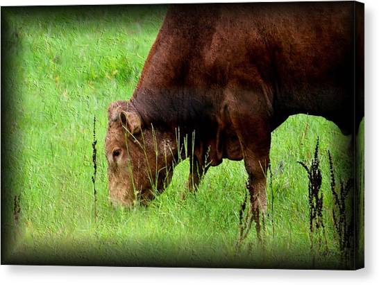 Red Brangus Bull Canvas Print