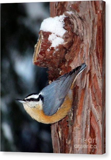 Red Breast Nuthatch  Canvas Print