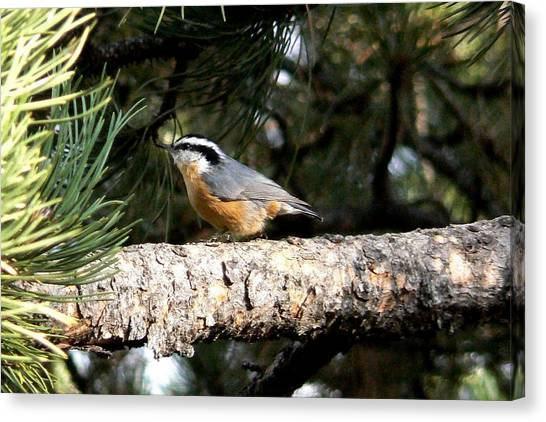 Red-breasted Nuthatch In Pine Tree Canvas Print