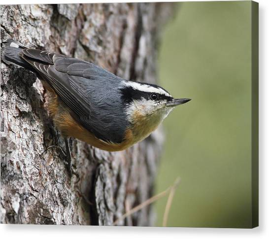 Red-breasted Nuthatch Canvas Print