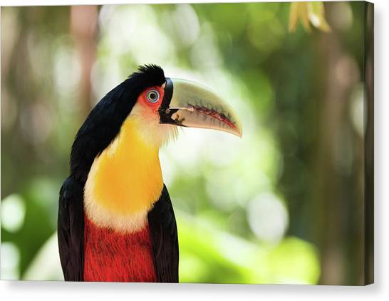 Iguazu Falls Canvas Print - Red-breasted Toucan by Dr P. Marazzi/science Photo Library