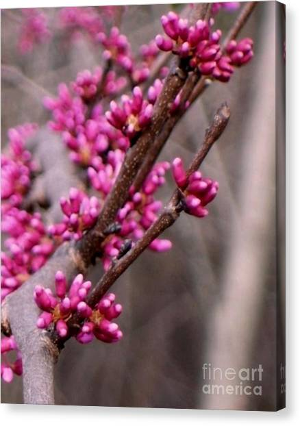 Red Bud Canvas Print