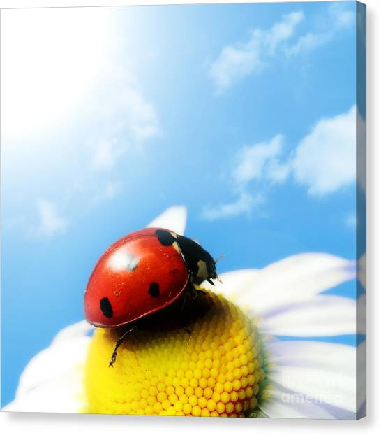 Red Bug On Camomile Flower Canvas Print