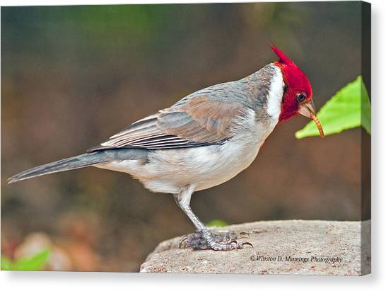 Red-capped Cardinal Canvas Print
