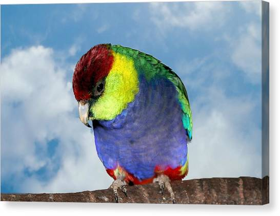 Canvas Print featuring the photograph Red Capped Parrot by David Rich