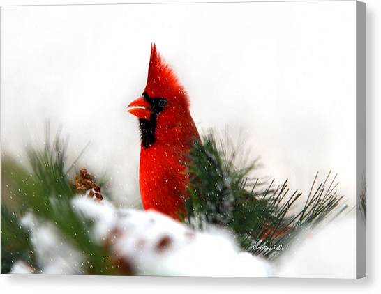 Perching Birds Canvas Print - Red Cardinal by Christina Rollo