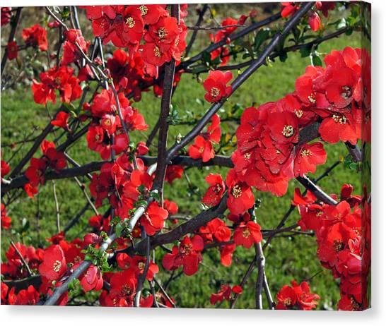 Red Cherry  Canvas Print