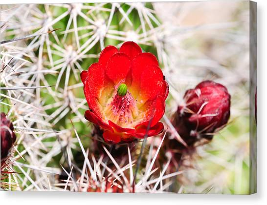 Red Claret Cup Cactus Canvas Print