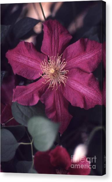 Red Clematis  133 Canvas Print by Stephen Parker