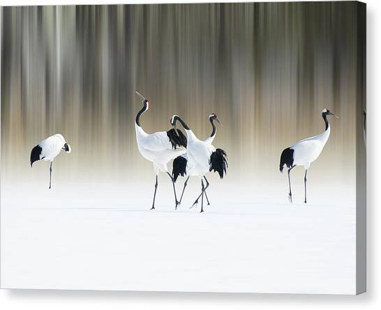 Red-crested White Cranes Canvas Print by Ikuo Iga