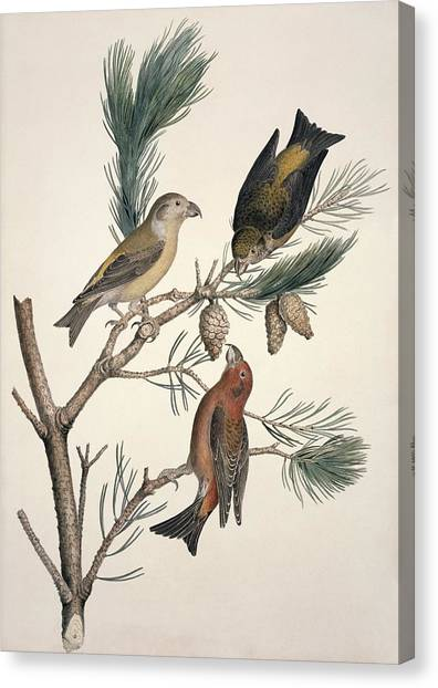Crossbills Canvas Print - Red Crossbill, 19th Century by Science Photo Library