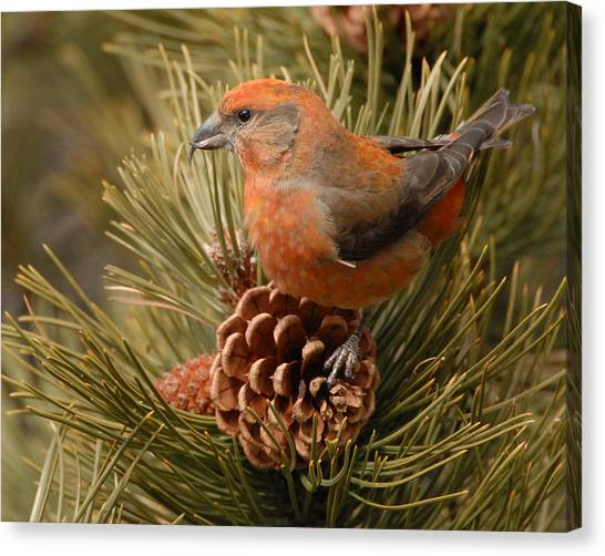 Crossbills Canvas Print - Red Crossbill by Amy Gerber