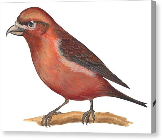 Crossbills Canvas Print - Red Crossbill by Anonymous