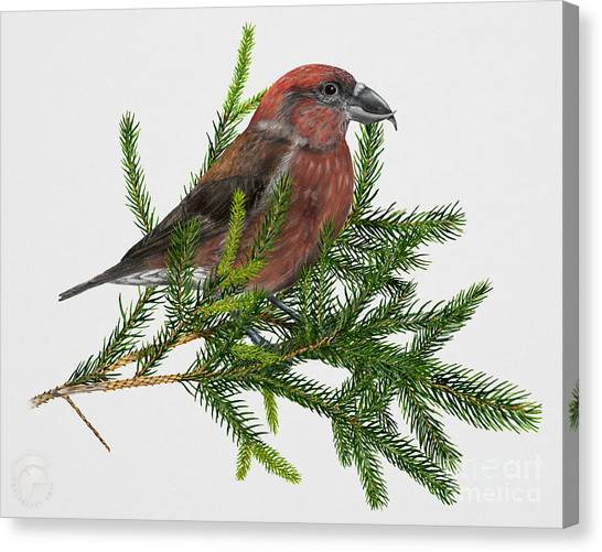 Crossbills Canvas Print - Red Crossbill -common Crossbill Loxia Curvirostra -bec-crois Des Sapins -piquituerto -krossnefur  by Urft Valley Art
