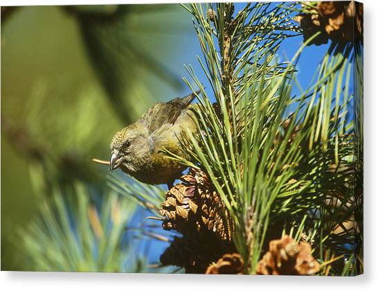Crossbill Canvas Print - Red Crossbill Eating Cone Seeds by Paul J. Fusco