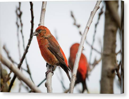 Crossbill Canvas Print - Red Crossbills Perch In A Willow by Robert L. Potts