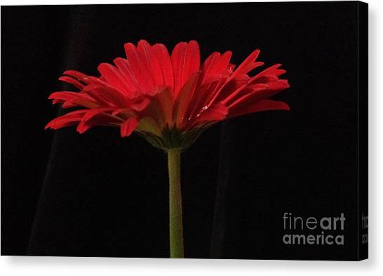 Red Daisy 4 Canvas Print