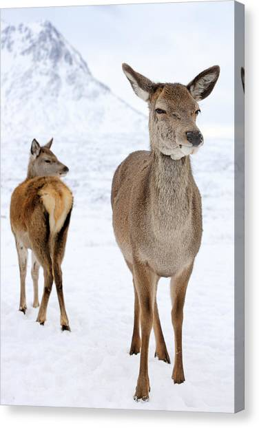 Winter Scenery Canvas Print - Red Deer In The Snow by Grant Glendinning