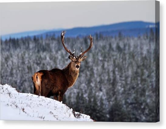 Glen Affric Canvas Print - Red Deer Stag by Gavin Macrae