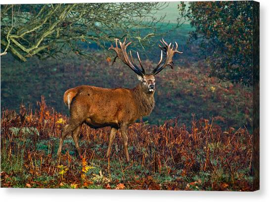 Red Deer Stag In Woodland Canvas Print