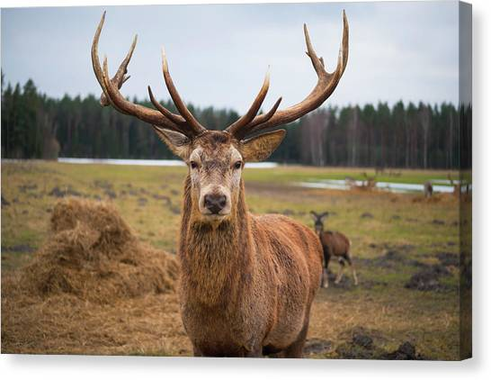Red Deer Stag Protecting Its Fawn Canvas Print by Boris Sv