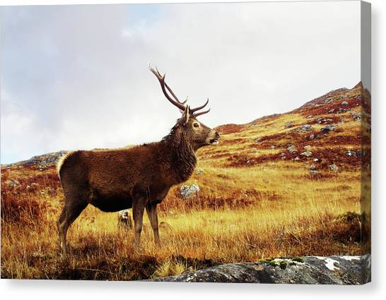 Red Deer, Stag Canvas Print by Urbancow