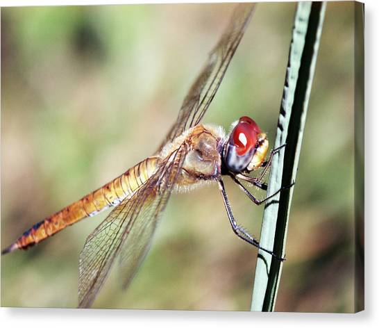 Red Dragonfly Eyes Canvas Print