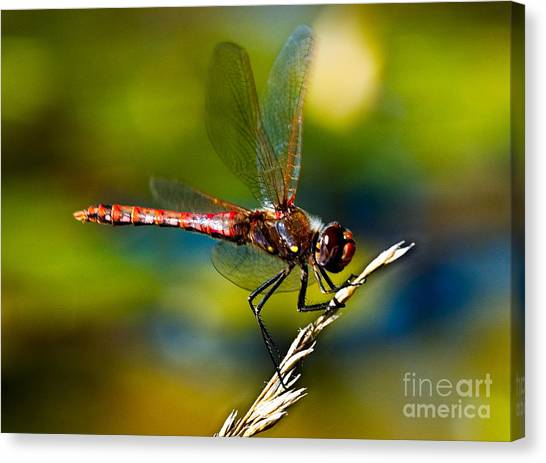 Red Dragonfly Canvas Print by Mae Wertz