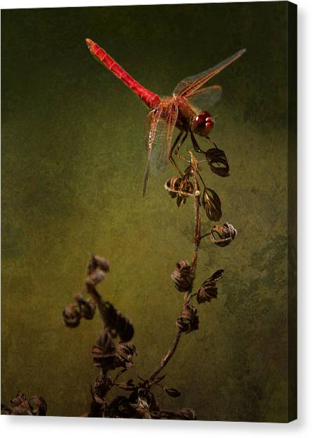 Canvas Print featuring the photograph Red Dragonfly On A Dead Plant by Belinda Greb