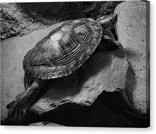 Snapping Turtles Canvas Print - Red-eared Slider Turtle by Daniel Hagerman