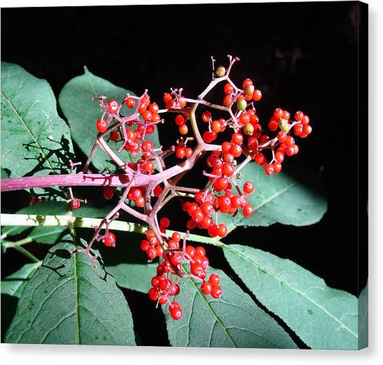 Wild Berries Canvas Print - Red Elderberry by Cheryl Hoyle