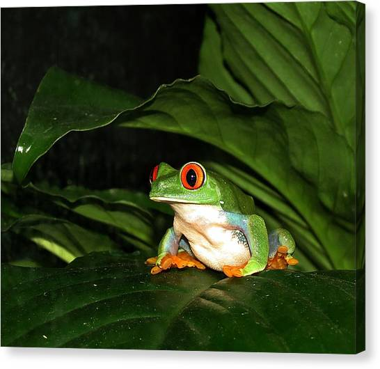 Red Eyed Green Tree Frog Canvas Print