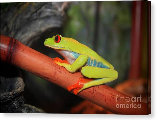 Canvas Print - Red Eyed Tree Frog by Cathy Beharriell