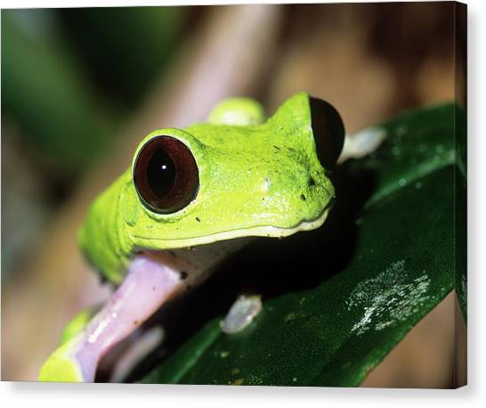 Amazon Rainforest Canvas Print - Red-eyed Tree Frog by Dr Morley Read/science Photo Library