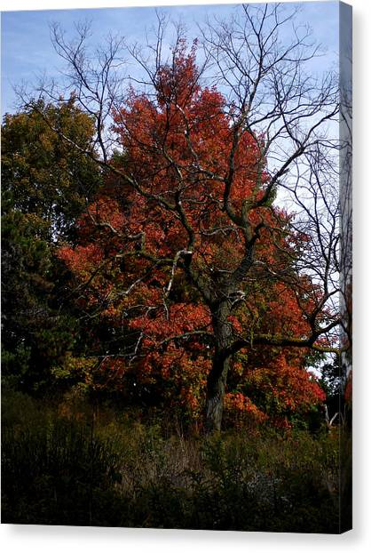Red Fall Maple Tree Canvas Print by Michel Mata