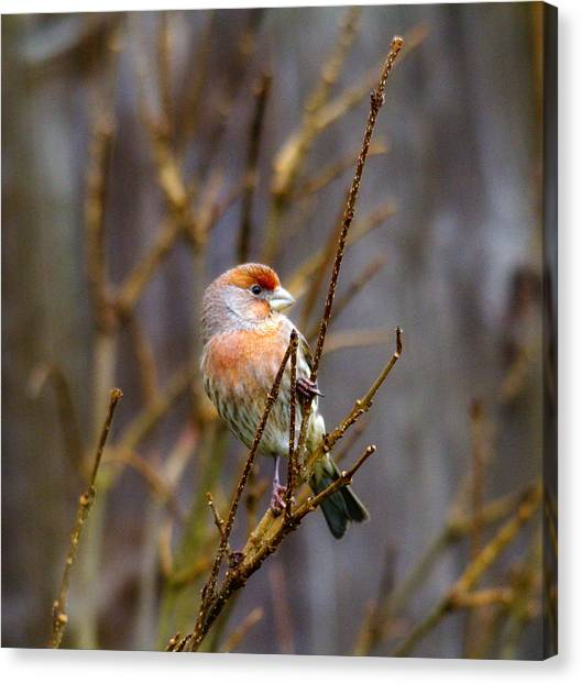 Finch Canvas Print - Red Find In Tree 2 by Rebecca Cozart