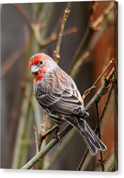 Finches Canvas Print - Red Finch In Tree 4 by Rebecca Cozart