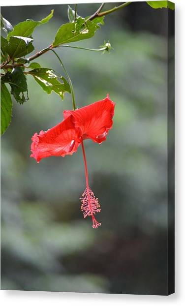 Red Flower St. John's Canvas Print