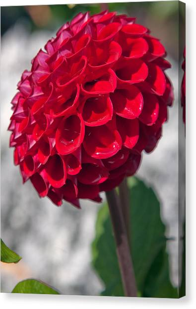 Red Flower With White Background Canvas Print