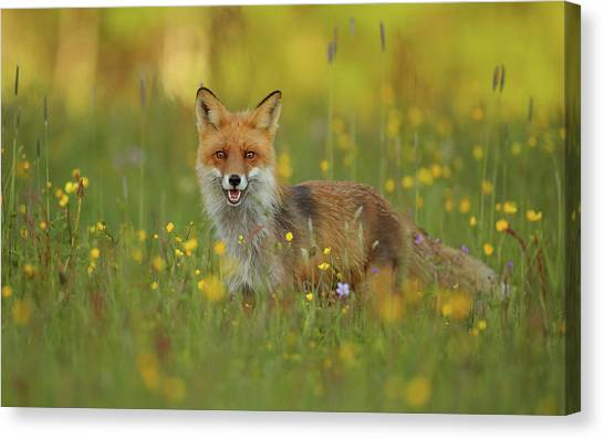 Red Fox Canvas Print by Assaf Gavra