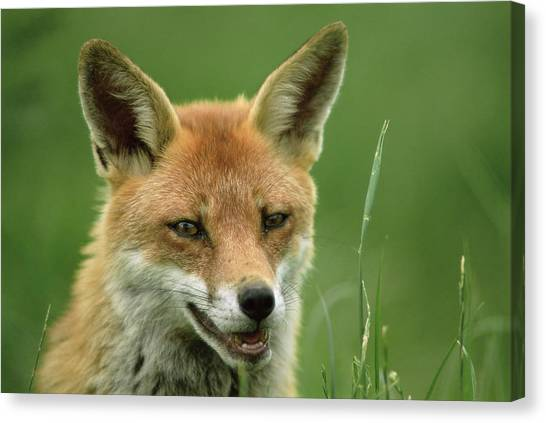 Red Fox Canvas Print by Duncan Shaw/science Photo Library