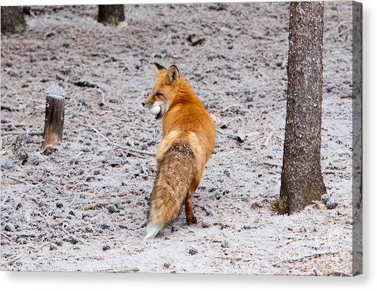 Red Fox Egg Thief Canvas Print