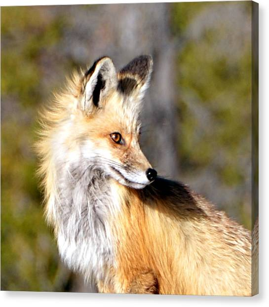 Red Fox Face Canvas Print